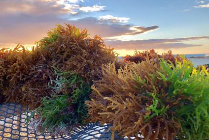 Seaweed powder ingredients: food experience sourced from Gracilaria red