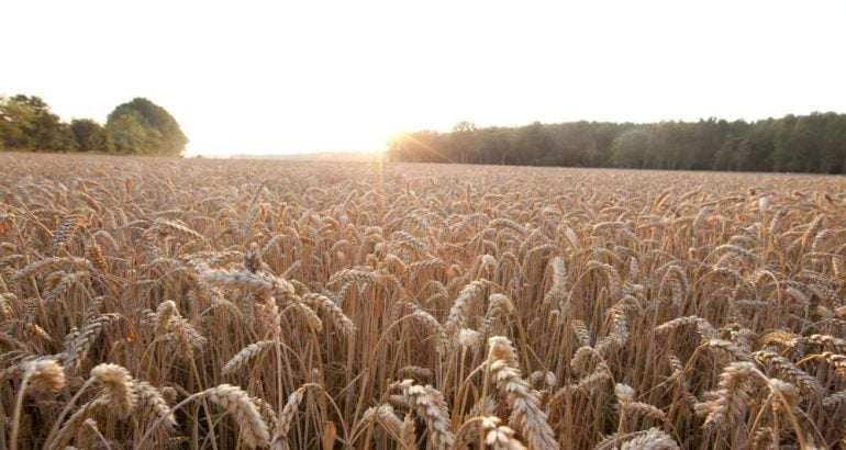 Sustainable agricultural practices with hybrid wheat seeds for European market